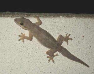 lizard in house