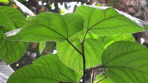 athi plant