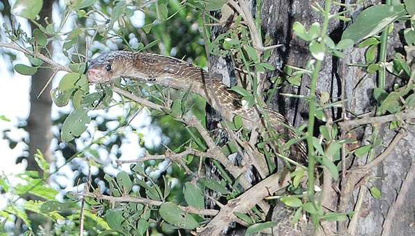 Snake pooja