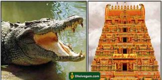 temple crocodile