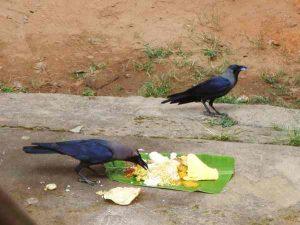 crow feeding