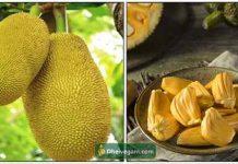 jackfruit-palapalam