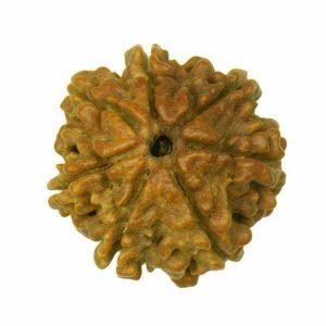 7-mukha-rudhraksha