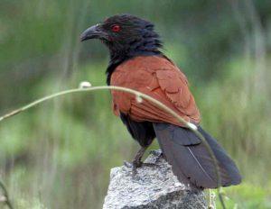 semboothu paravai bird