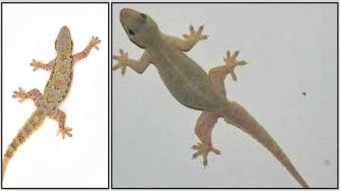 lizardl