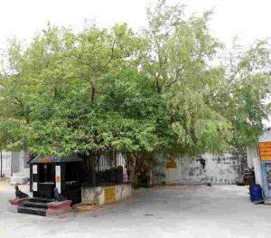 vanni tree