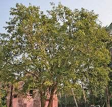 vilvam tree