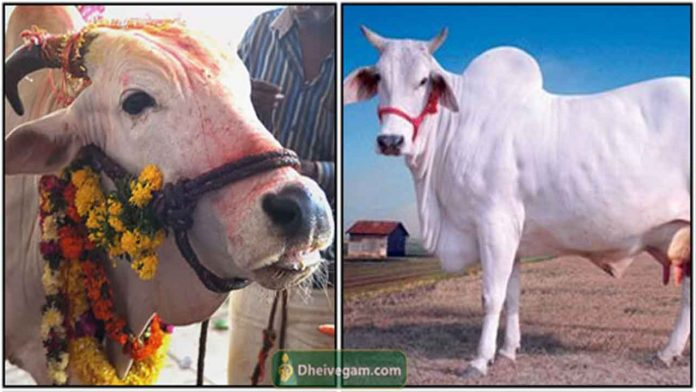 Indian-cow