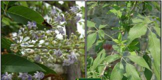 Nochi-leaf