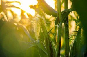 corn-fiber