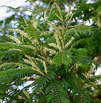 vanni-tree