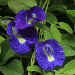 blue sangu poo