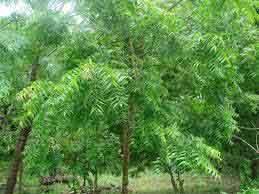 vepilai-tree