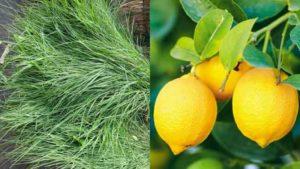arugampul-lemon