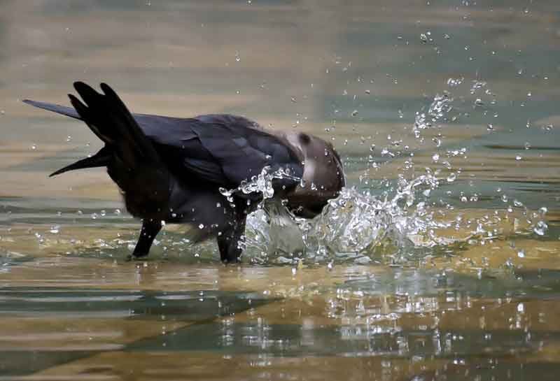 crow-bath