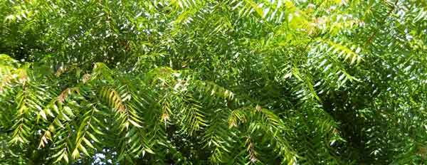 neem-tree1