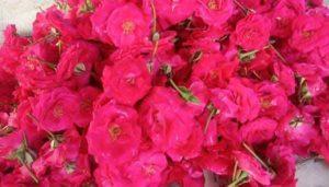 panner-rose