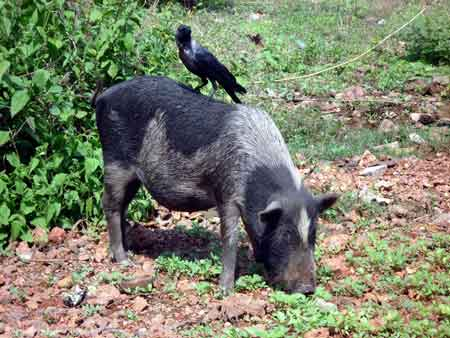 crow-on-pig
