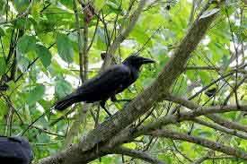 crow-tree