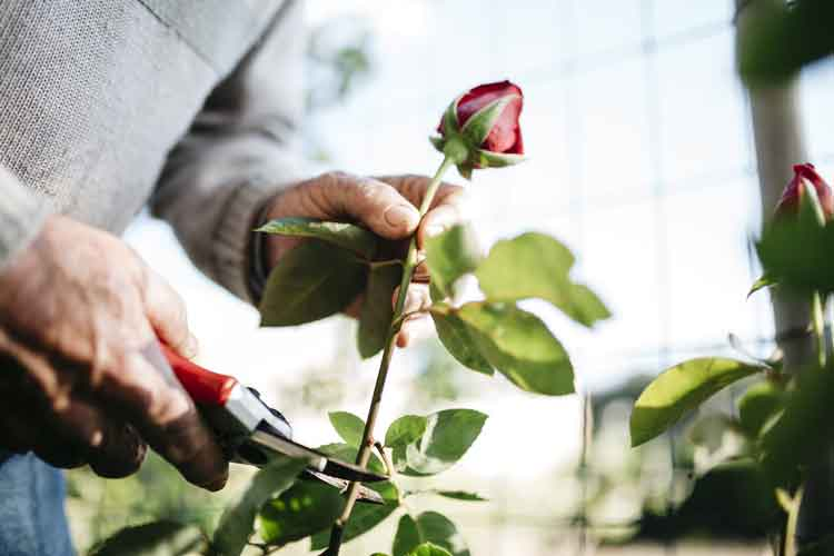cutting-rose-plant