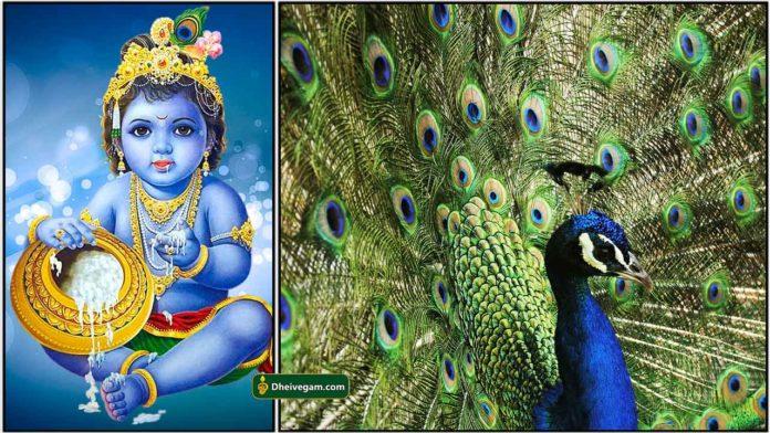 krishnar-peacock