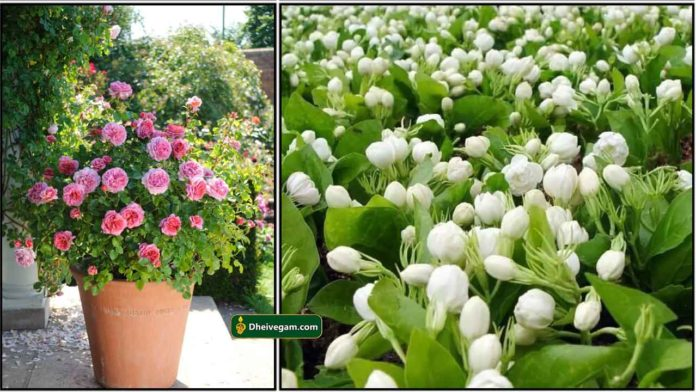 rose-and-jasmine