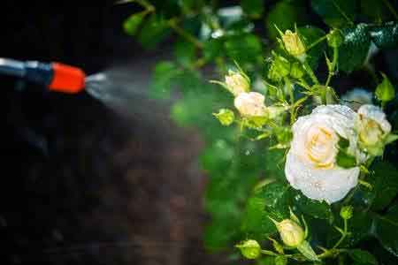 rose-plant-spray