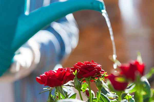 watering-rose-plant