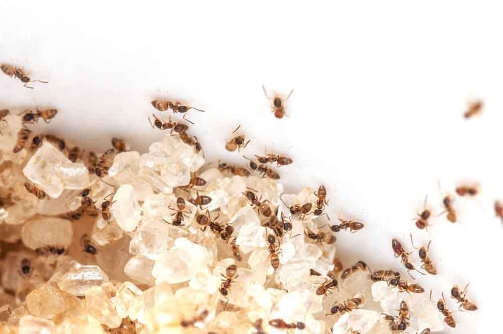 ant-sugar