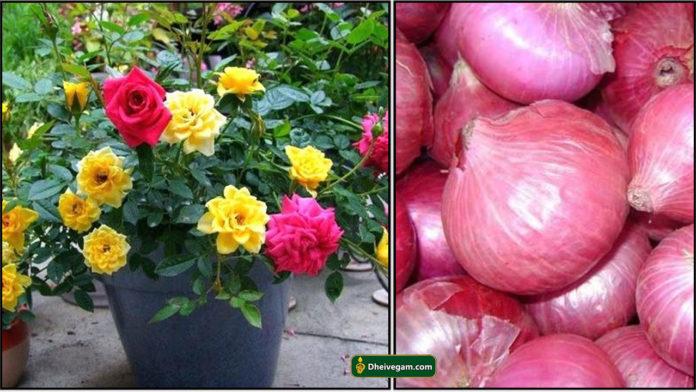 rose-onion