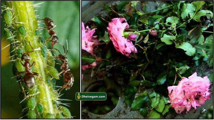 ants-in-plants