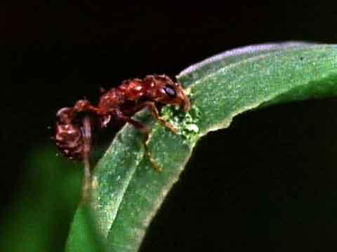 ants-in-plants2