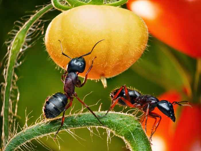 ants-in-vegetable-plant