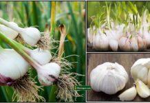 garlic-plant2
