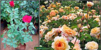 rose-plant