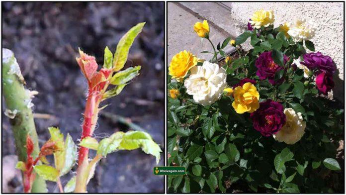 rose-plant-graft