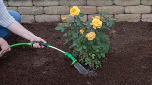 rose-plant-watering