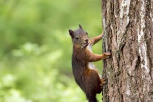 squirril