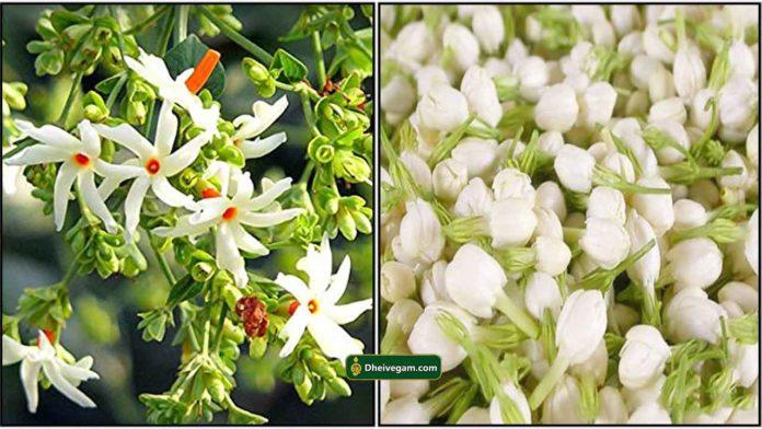 flower-parijatham-malli