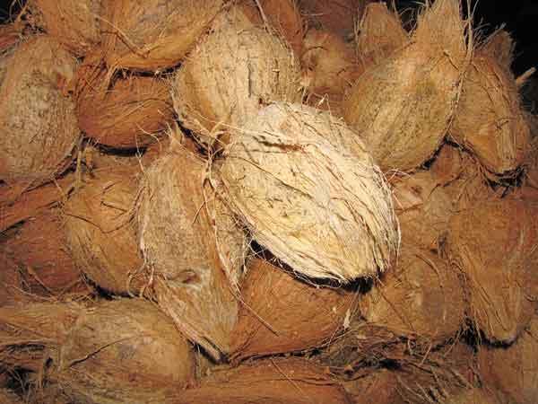 mattai-thengai-coconut