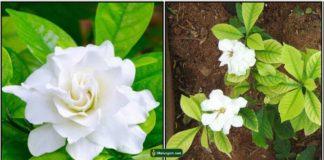 parijatham-plant