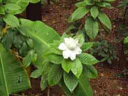 parijatham-plant1