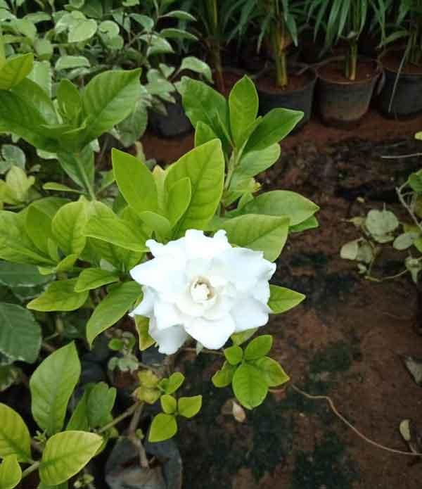 parijatham-plant2