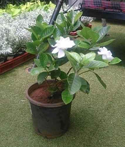 parijatham-plant3