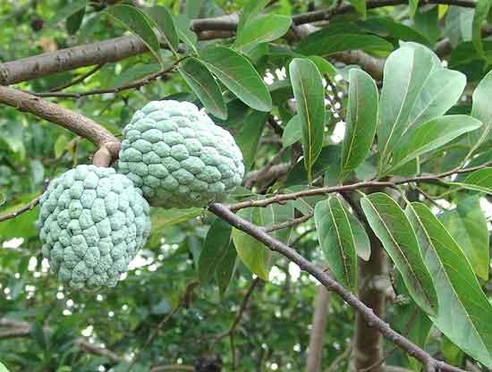 seetha-pazham-tree