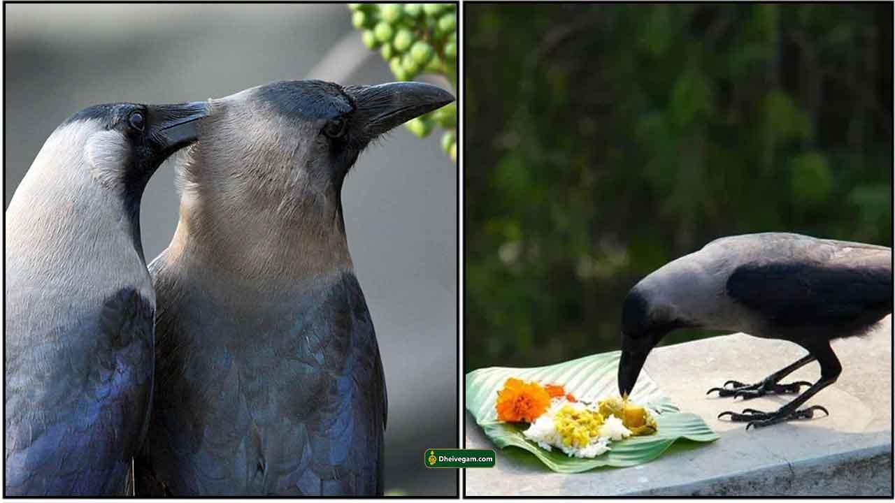 crow-food