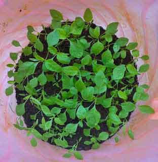 keerai-plant1