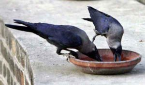 water-for-crow