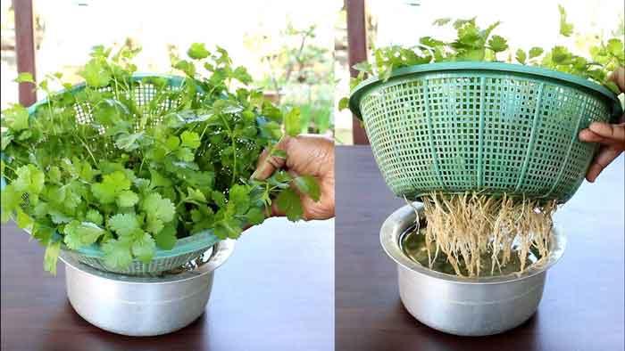 coriander-growth
