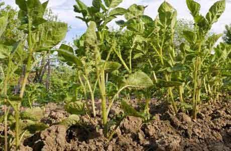 potato-planting2
